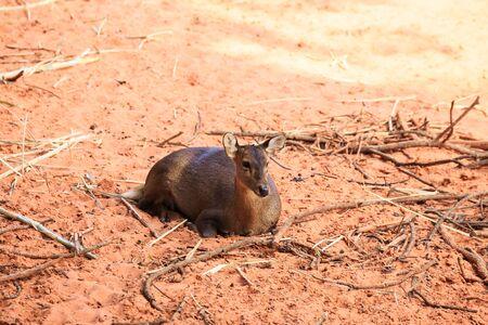 hog: Brown hog deer laying on ground Stock Photo