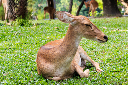 herbivores: Brown female laying antelope in green grass field