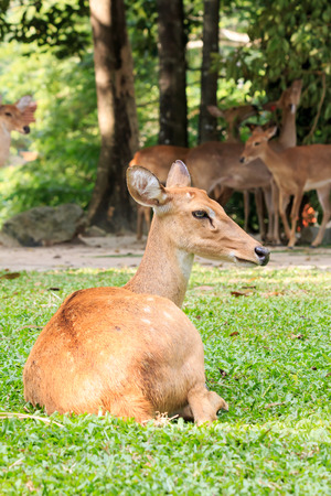 herbivore natural: Brown female laying antelope in green grass field
