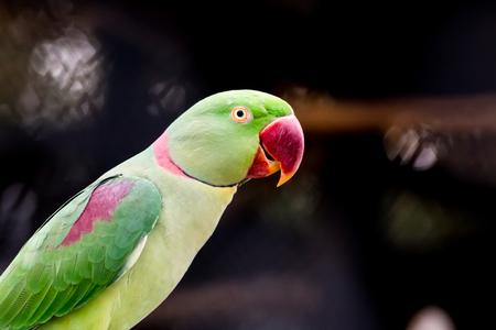 periquito: un periquito Alexandrine colorido de cerca