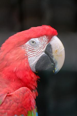 guacamaya: Scarlet Macaw cerrar un disparo de cabeza