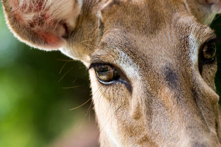 face close up: Brown female antelope face close up