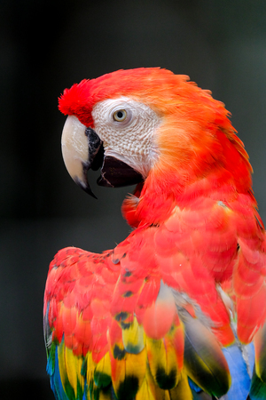 scarlet: Scarlet macaw macaw close up head shot