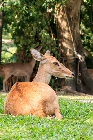 herbivore: Brown female laying antelope in green grass field