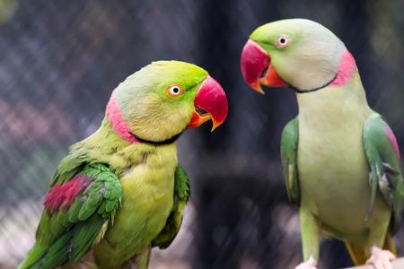 periquito: Par de colorido perico alejandrino de cerca