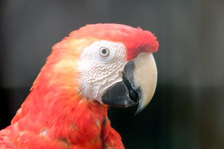 guacamayo: Scarlet Macaw cerrar un disparo de cabeza