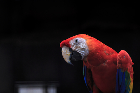 scarlet: Scarlet macaw close up with dark background
