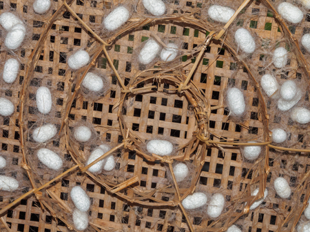 White silk worm cocoons in basket Stock Photo