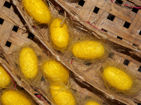 Yellow silk worm cocoons in basket