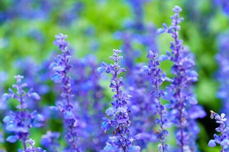 Purple white salvia flowers in garden close up Stock Photo