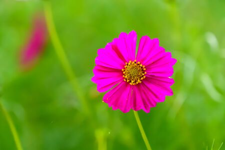 Pink cosmos on garden field close up