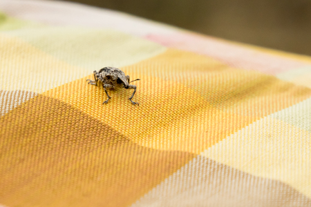 Little brown weevil beetle close up on fabric