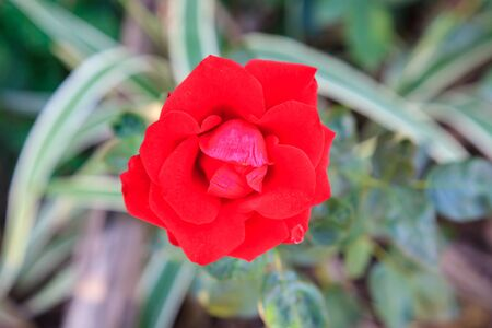 red rose close up in the garden Banque d'images