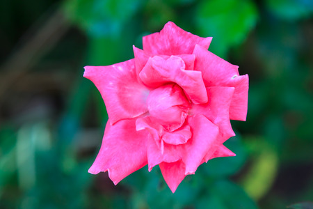 Pink rose close up in the garden Banque d'images