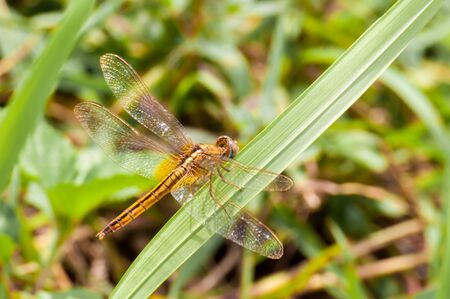 Yellow and black pattern dragon fly resting on green grass Stock Photo