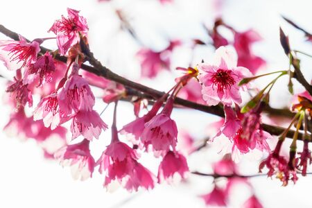 Pink sakura blossom flower on tree close up Banque d'images