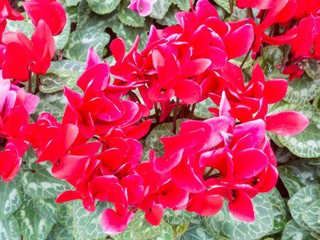 Red fresh cyclamen flower in the garden