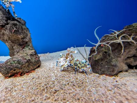 Colorful white blue orange harlequin shrimp under sea water Banque d'images