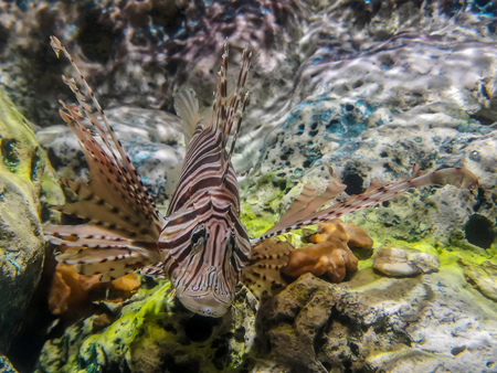 Tropical fish lionfish diving under sea water