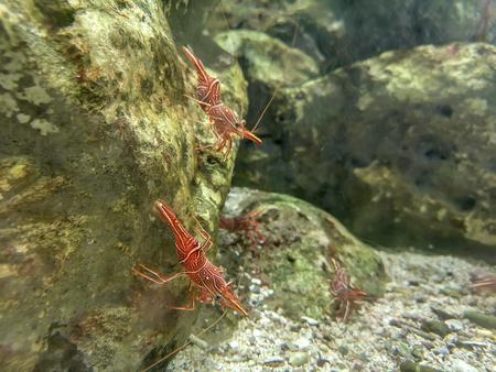 Red camel shrimp or hinge-beak shrimp on rock under water Banque d'images