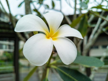 White and yellow plumeria flower on tree close up