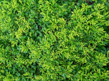 Green fresh natural leaves background in garden 写真素材
