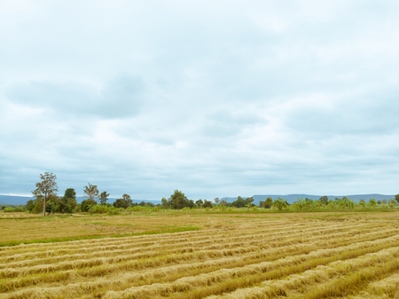 Rice paddy field after harvest season in Thailand against cloudy blue sky
