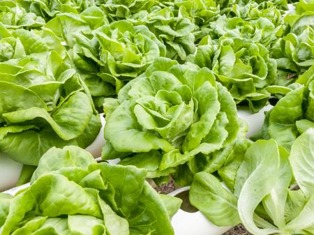 Salad vegetable  green fresh lettuce in farm close up Banque d'images