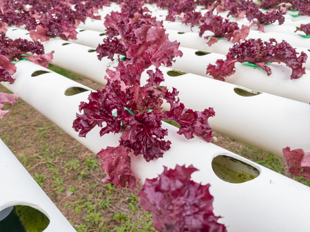 Salad vegetable red  fresh lettuce in farm close up