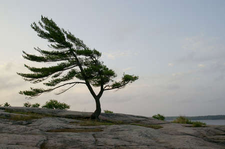 windswept tree on shoreline in northern ontario