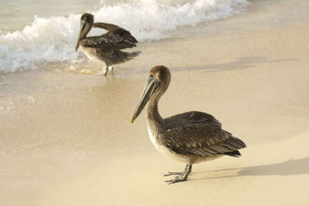 two young pelicans getting feet wet on beach