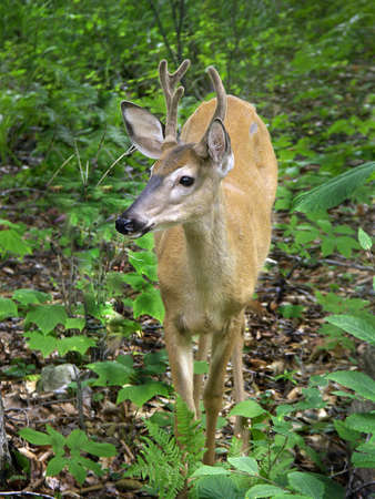 bright eyed: bright eyed deer standing in woods Stock Photo