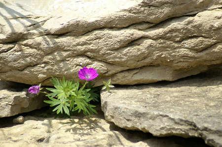 delicate flower growing in cracks of rock photo