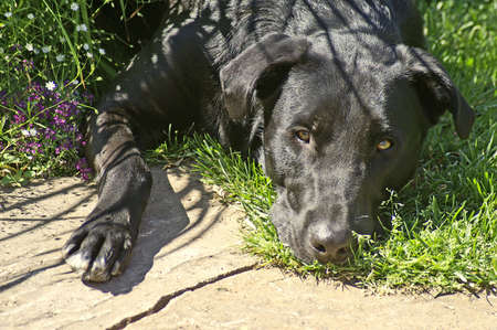 cute black lab looking sad laying in grass
