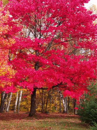 big red tree Stock Photo
