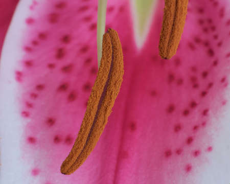 macro of tiger lily flower