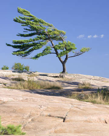 pine tree stands strong against the elements of northern ontario