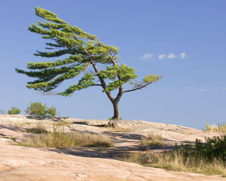 windswept tree stands strong on rocks in northern ontario