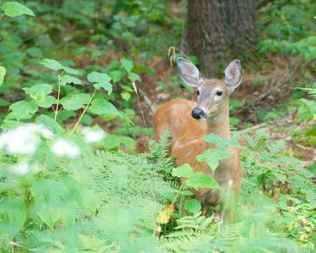 alert young deer in the woods