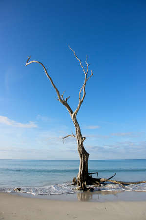dead tree on edge of carribean shore Stock Photo