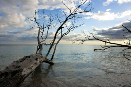 carribean: fallen tree at waters edge
