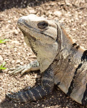 close up of iguana head Imagens - 4536082