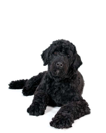 portrait of a portuguese water dog