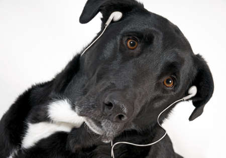 close up of handsome black dog with ear phones on photo