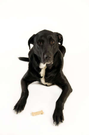 behaving: big black dog waiting to eat cookie Stock Photo