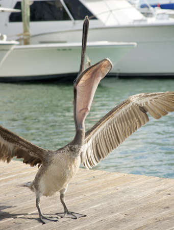 pelican catching a fish in mouth with wings spread Reklamní fotografie