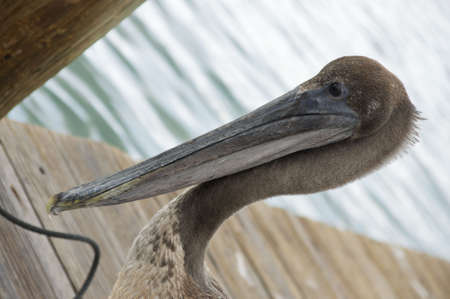 close up head shot of a young pelican on a dock