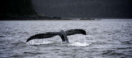 whale dive in Alaska