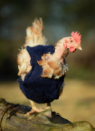ex: Ex battery chickens with knitted tops
