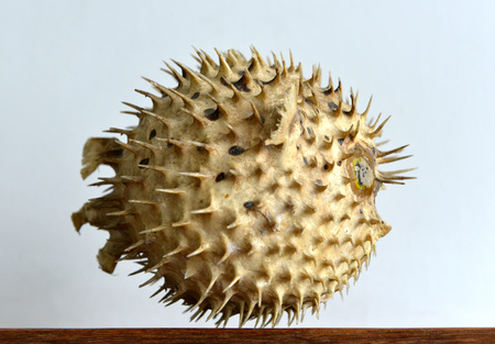 puffer: Dried and preserved antique puffer fish (tetraodontidae) specimen. Stock Photo